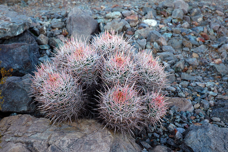 This type cactus is fairly common in Death Valley, seen them in many different areas.