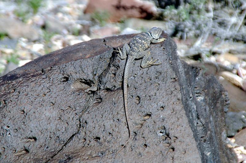 Big lizard.