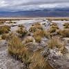 Death Valley marsh grass