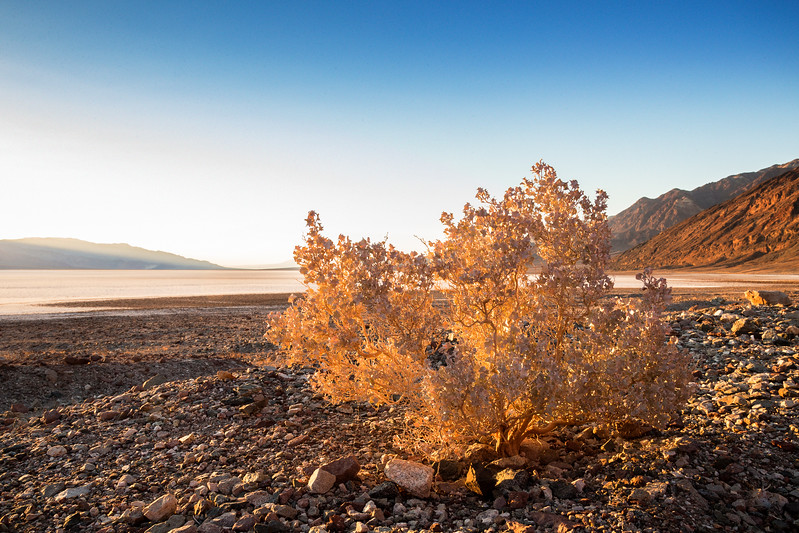 Desert Holly at Badwater Basin