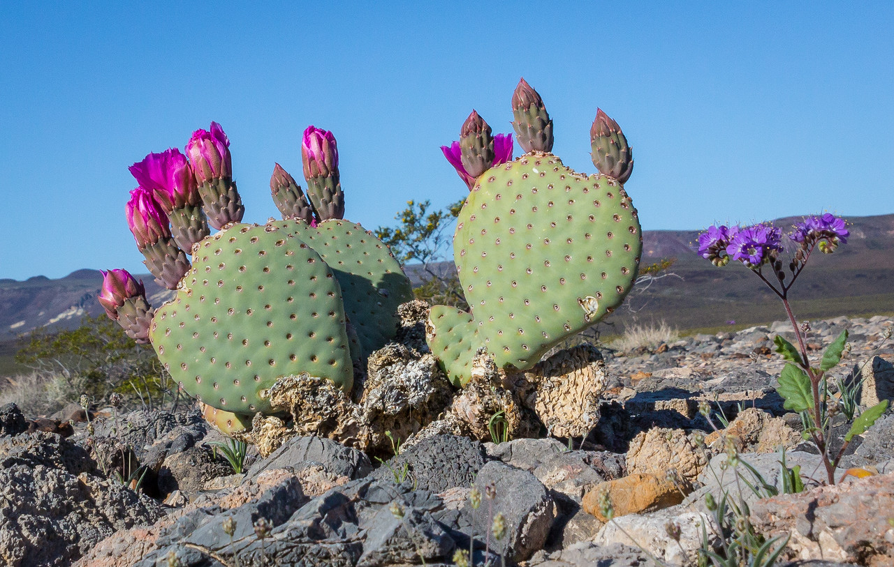 Blooming cactus in Death Valley