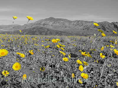 Desert Gold Flowers in Death Valley