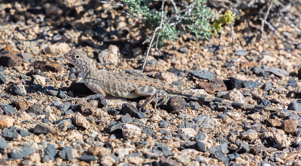 Death Valley zebra-tailed lizard