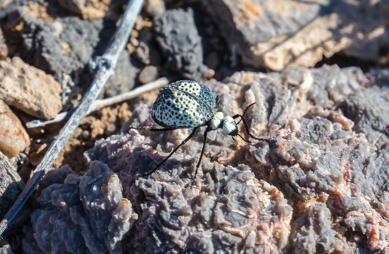 Death Valley bug