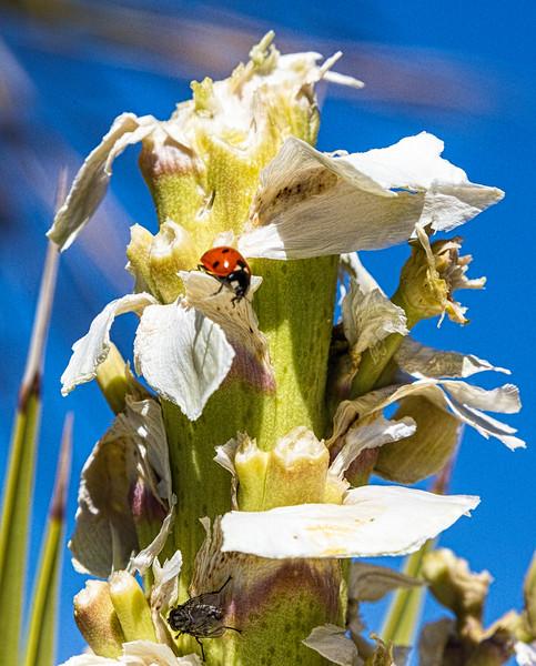 Death Valley Friday ladybug-