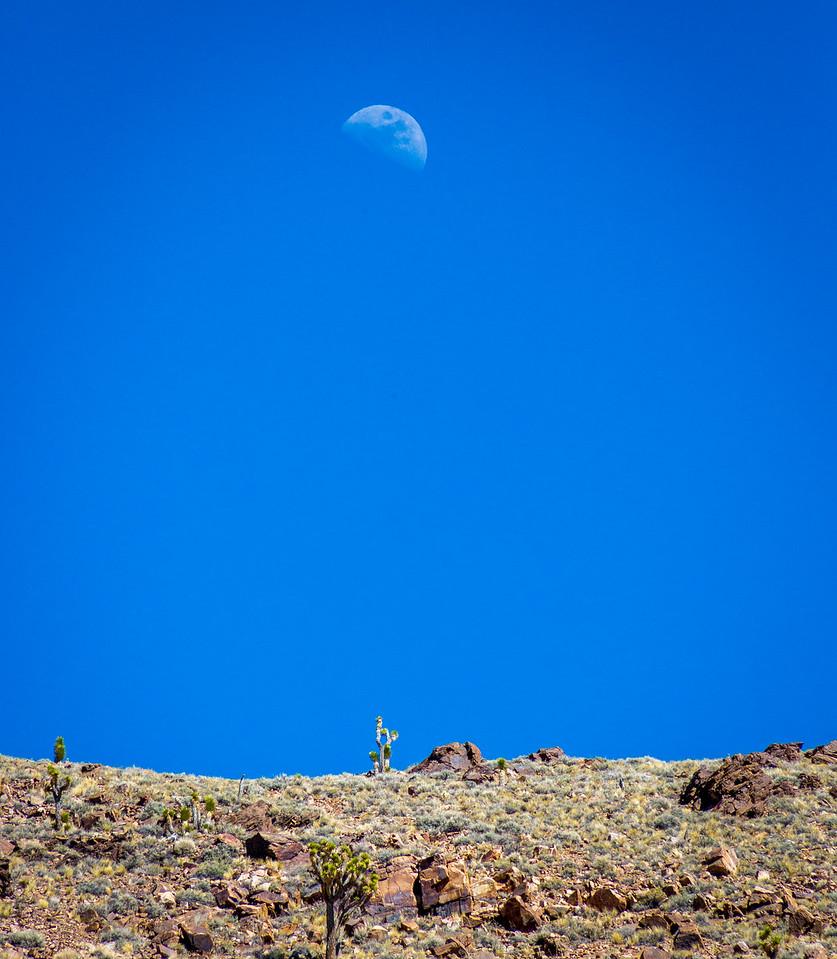The moon rises above a grove of Joshua Trees