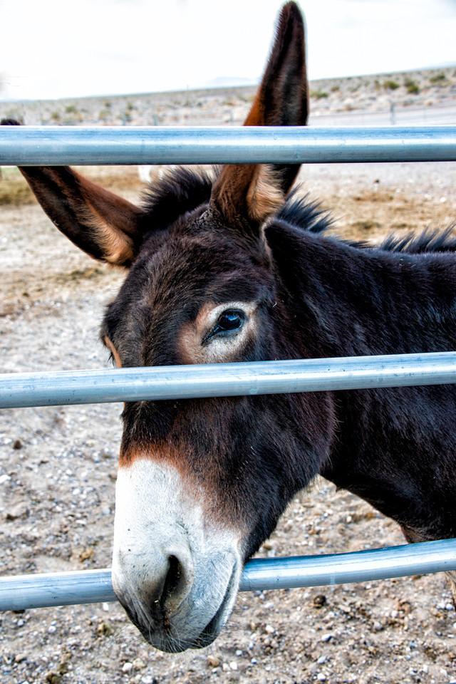Longstreet inn mule