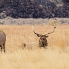 Elk Stag and his harem