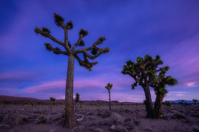 Lee Flat Joshua Trees