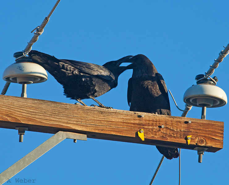 Ravens kissing on the grounds of the Furnace Creek Ranch in the Death Valley National Park Common Raven