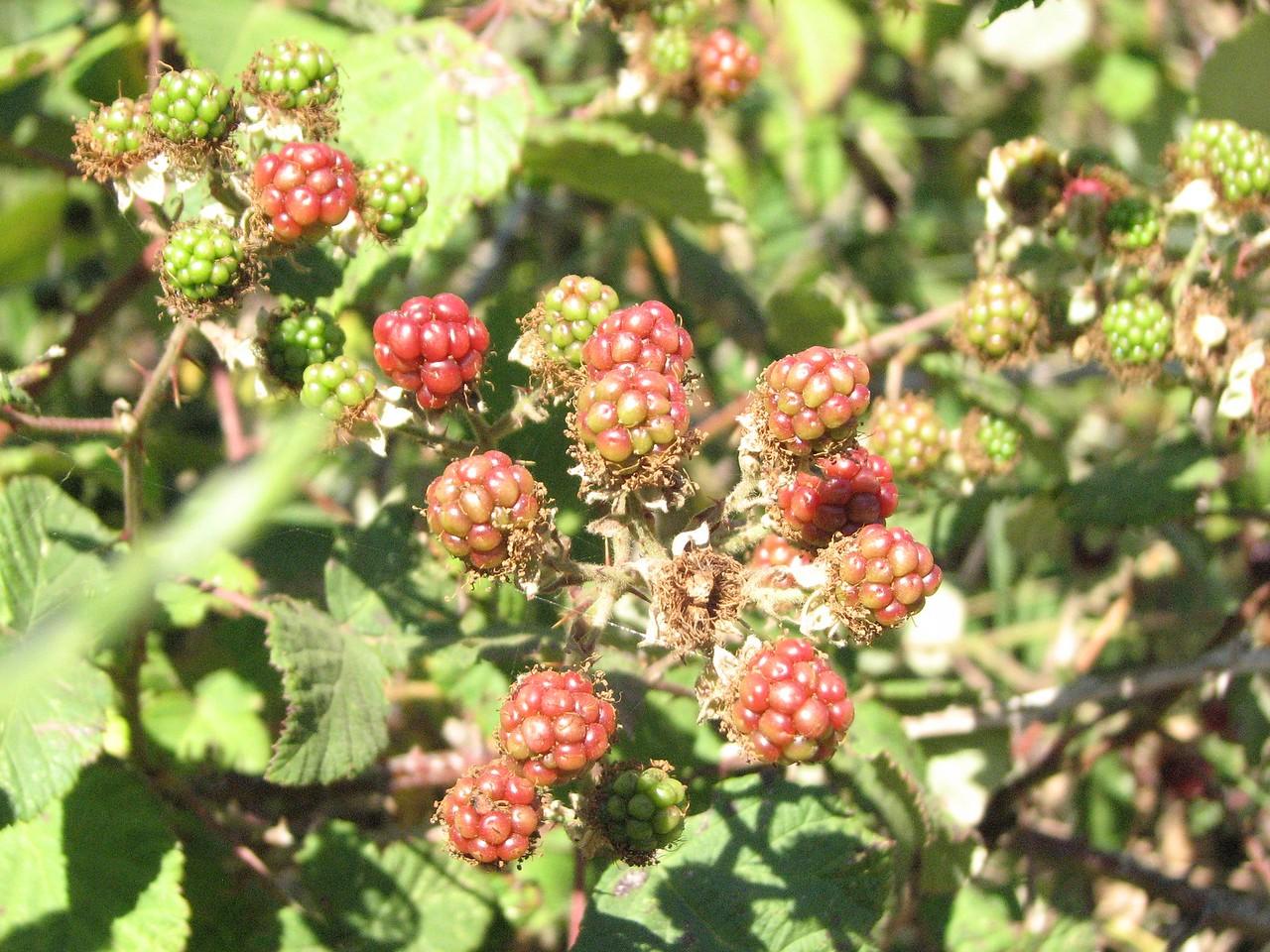Berries aren't ripe on the coast yet.