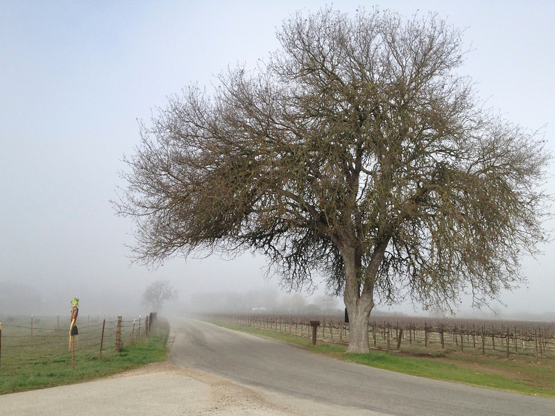 Foggy winter morning in rural Paso Robles.