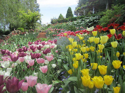 Tulips at Crystal Hermitage Gardens, Ananda Village