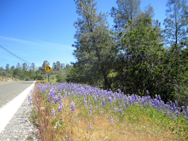 Lupine on Newtown Road