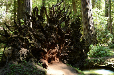 The beauty of an upended root system