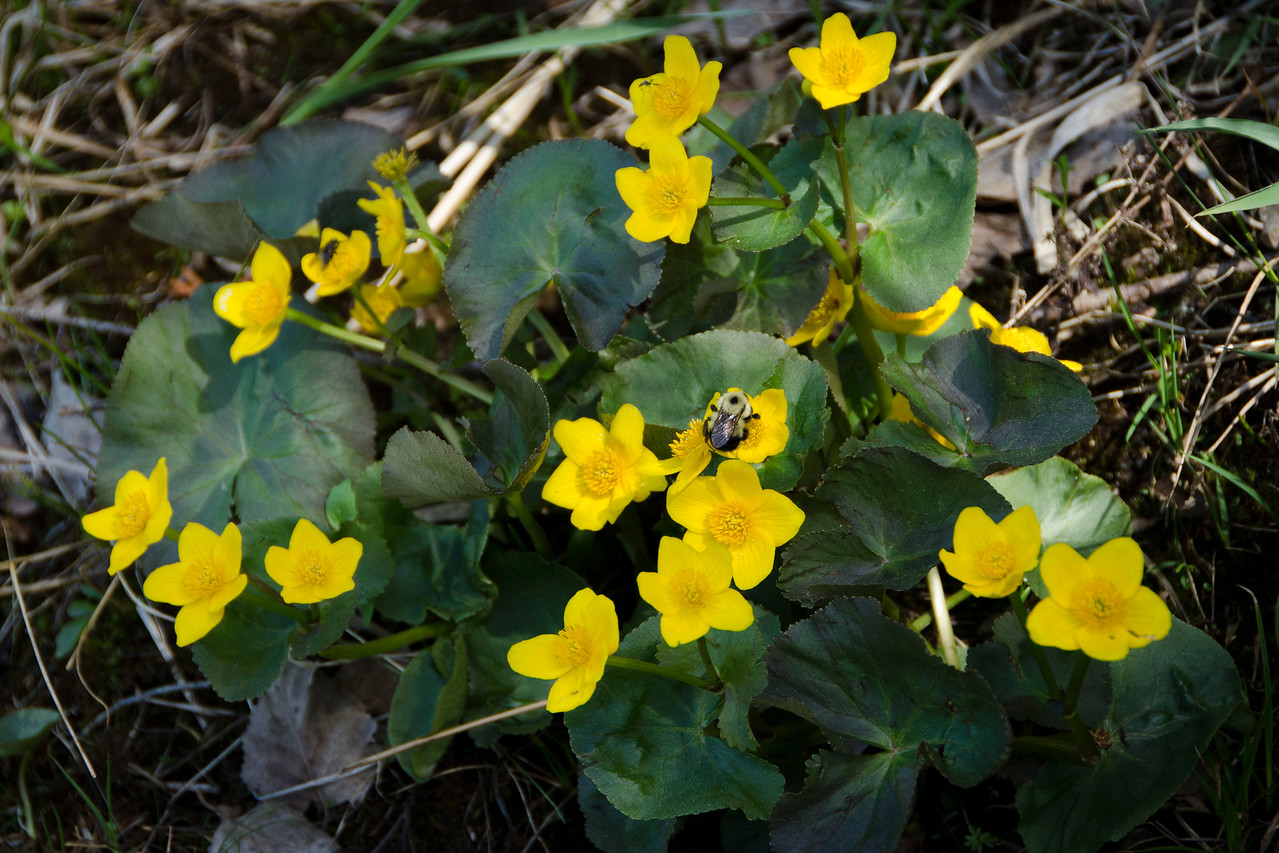 Marsh Marigold (Mrs. Mawhinney was being channeled at this moment)