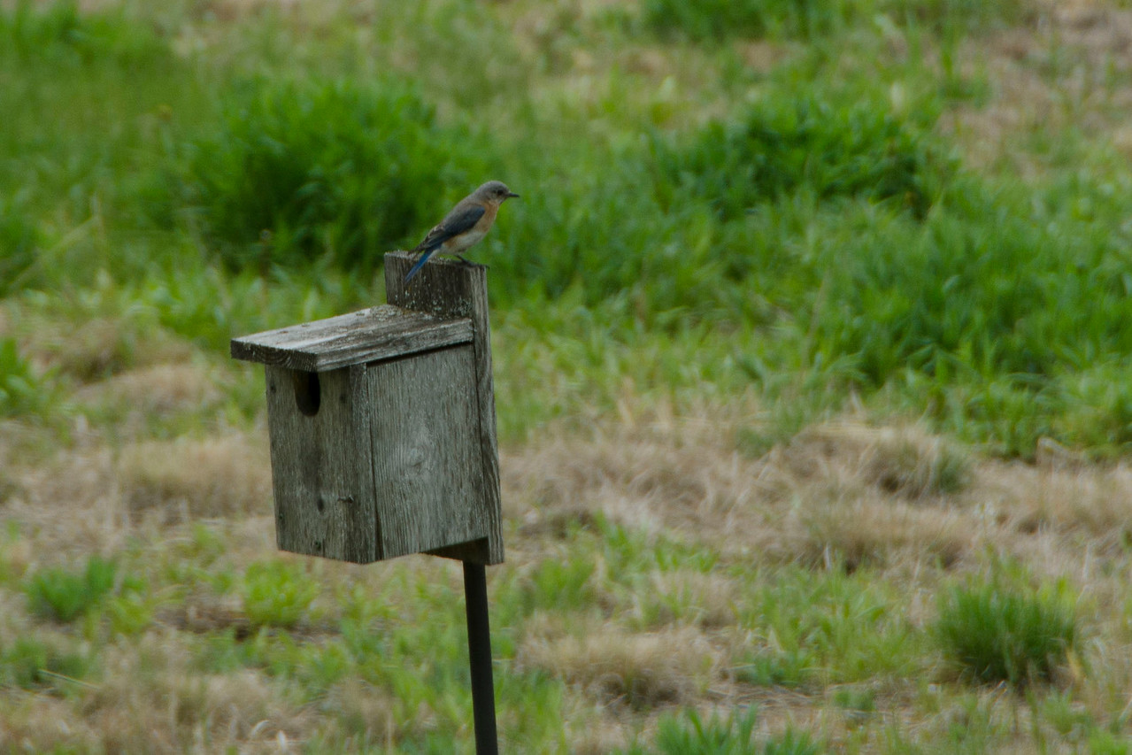 Doug installs a Bluebird box o the edge of the prairie at mom's request. Within 20 minutes, this female (and male) are on it.