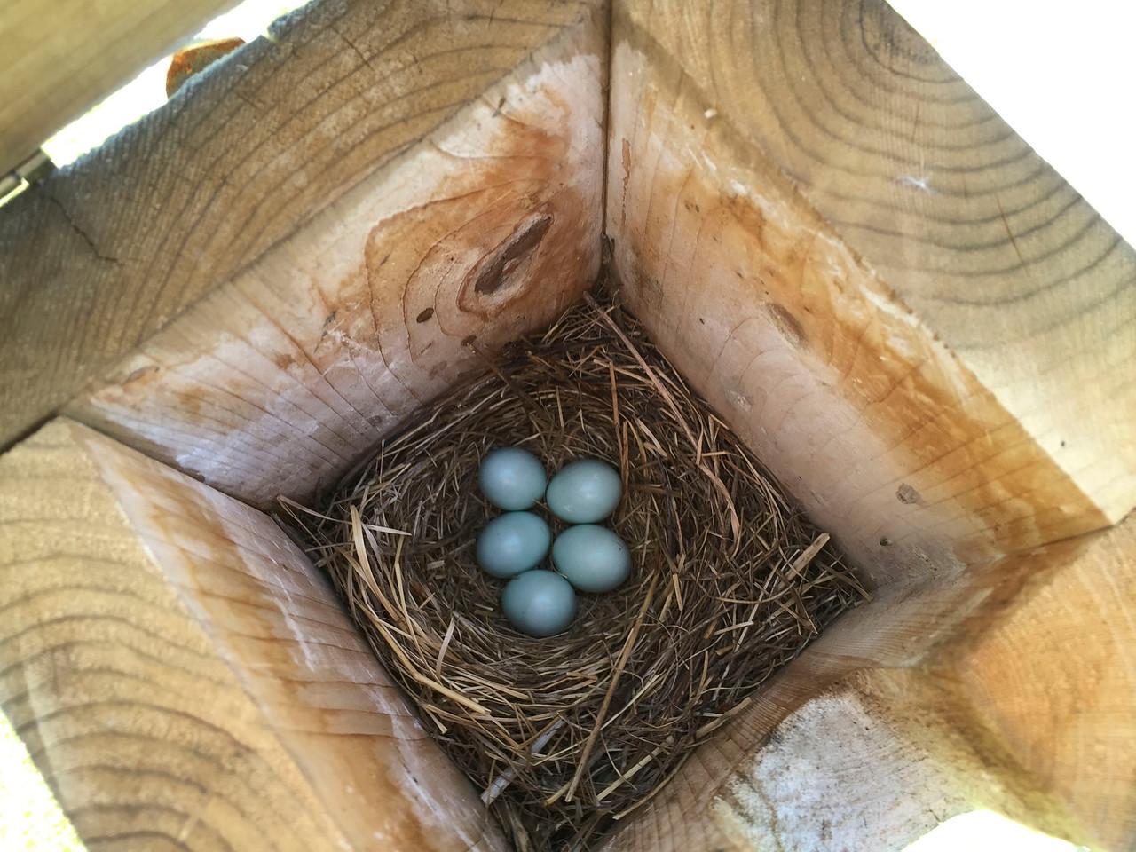 Bluebird eggs at a Grandview box