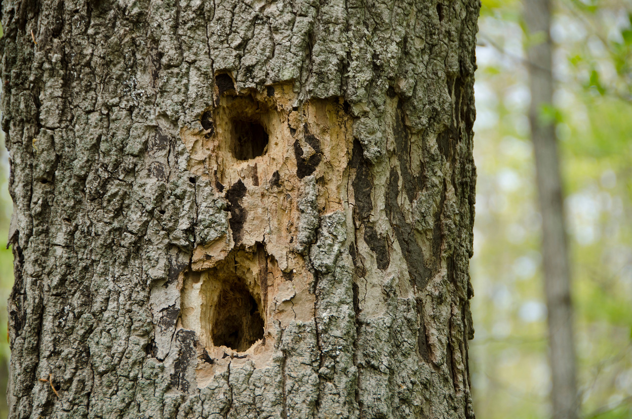 A Pileated Woodpecker was here