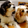 King Charles Spaniels on Deb's dining room table