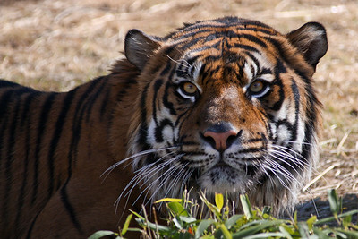 In the Scope of the Tiger