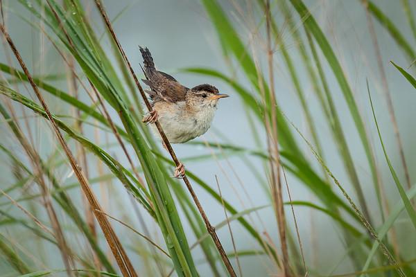 Marsh Wren