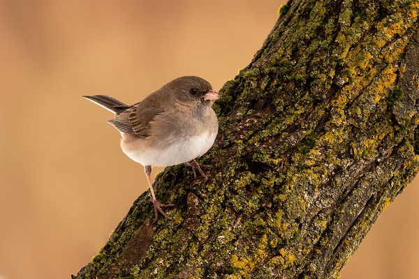 Junco and Moss