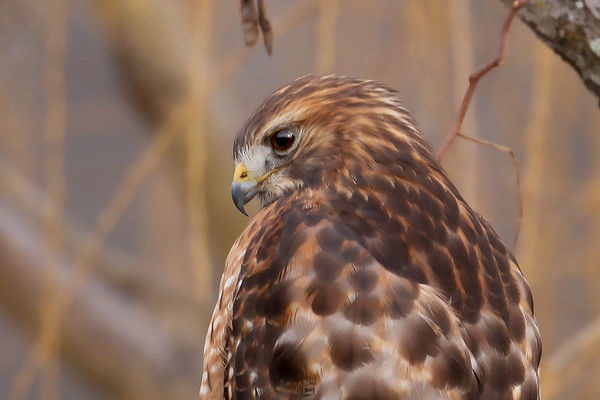 Portrait of a Hawk