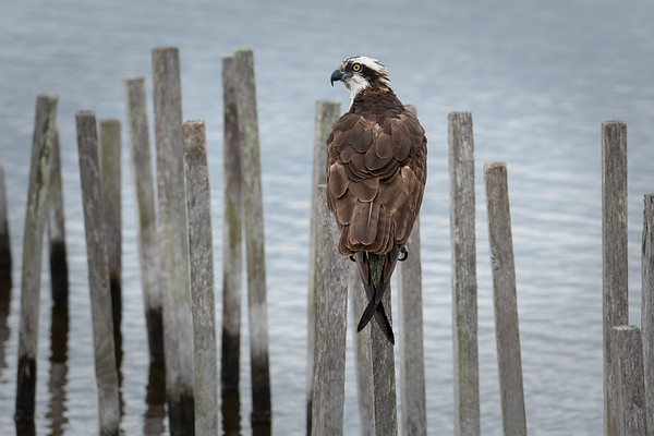 Blackwater Osprey