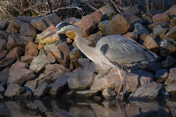 Heron in Dappled Sunlight