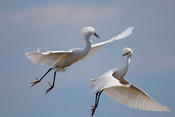 Fighting Egrets