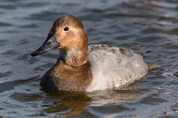 Canvasback Beauty
