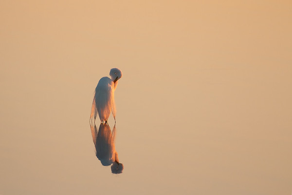 Egret In Golden Light