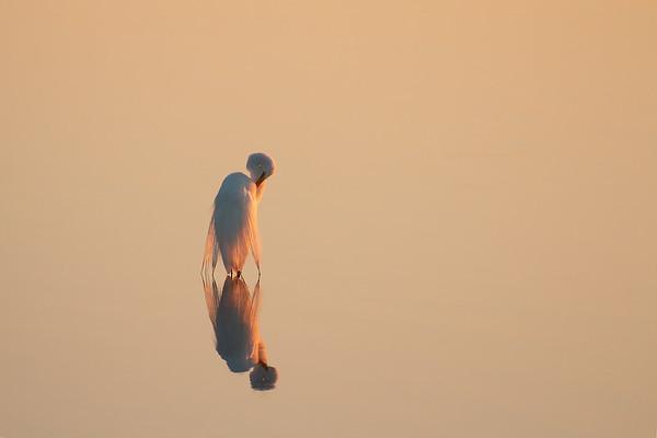 Egret In Golden Light