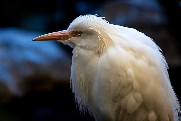 Moonlight Egret