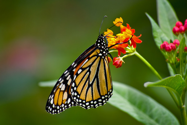 Monarch Delight