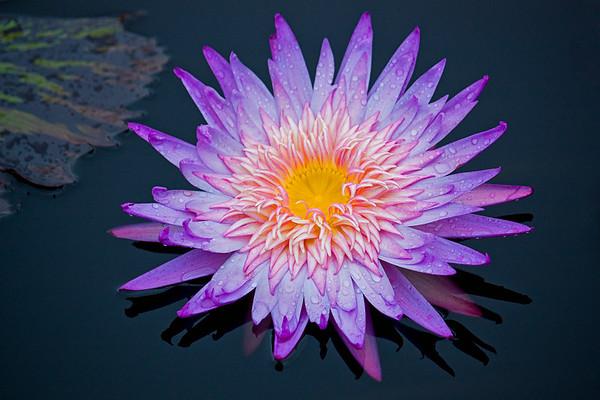Purple Lotus Explosion
