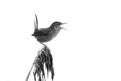 Song of the Marsh Wren