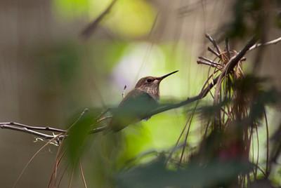 Hummingbirds LA Arboretum