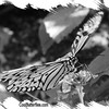 fr-bw-paperkite-bfly-stlz-DSC09289
