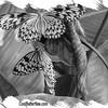 fr-bw-paperkites-bflyh-DSC00099