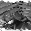 fr-bw-indian-leaf-bflyh-DSC09843