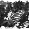 fr-bw-zebra-longwing-bfly-stlz-DSC09299