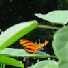 orange-tiger-bflyh-DSC00113