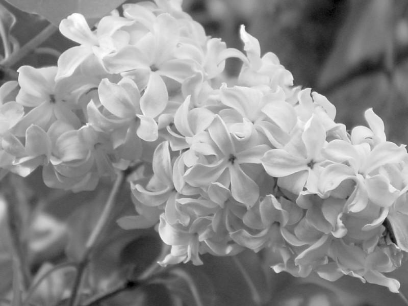 Black and White photos of Lilacs by Deborah Carney.--DSC08551