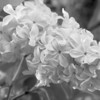 Black and White photos of Lilacs by Deborah Carney.--DSC08551