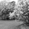 Black and White photos of Lilacs by Deborah Carney.--DSC08601