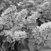 Black and White photos of Lilacs by Deborah Carney.--sensation-DSC08889
