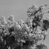 Black and White photos of Lilacs by Deborah Carney.--DSC08500