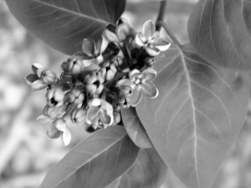 Black and White photos of Lilacs by Deborah Carney.--flower-city-DSC08905